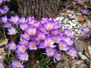http://www.hbcwdc.com/wp-content/uploads/2014/02/22crocus-tree.jpg